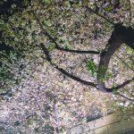 夜桜と撮影
