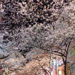 椿さくら夜桜葉桜…(笑)